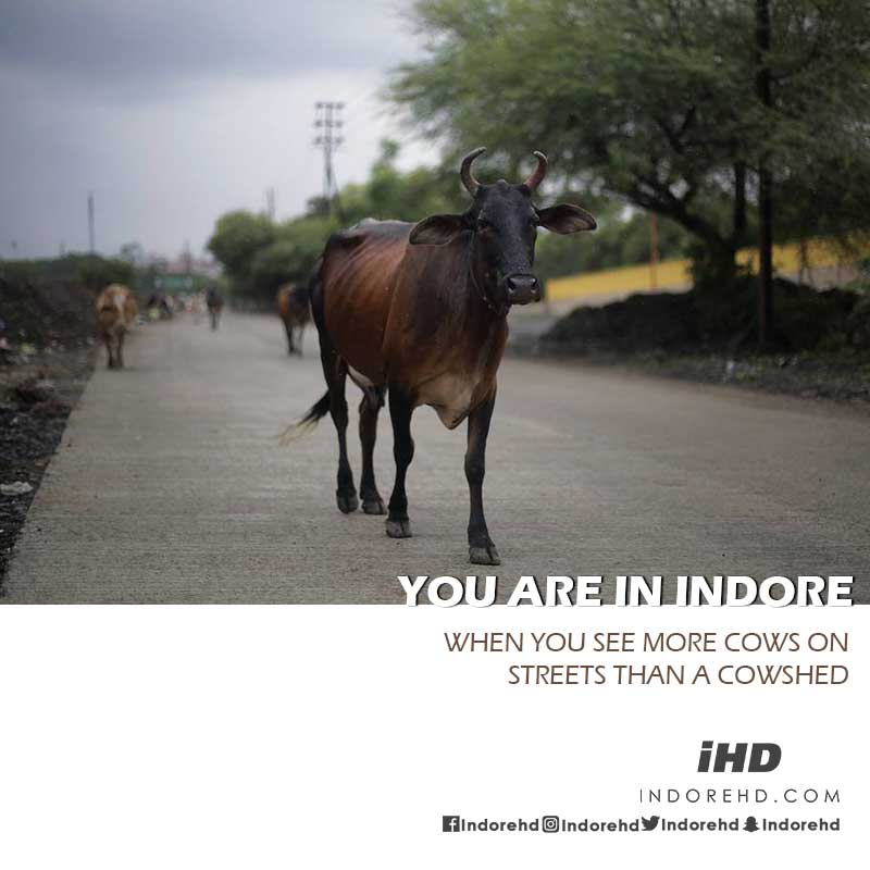 you-are-in-indore-when-cow-on-street-indore-indorehd