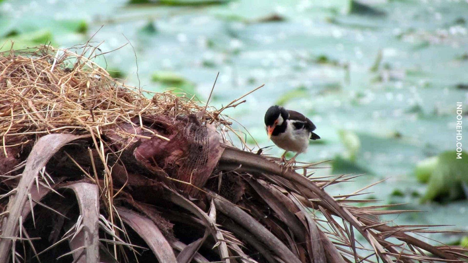 Exotic-species-birds-sirpur-lake-Indore-IndoreHD-featured