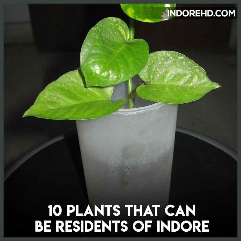 moenyplant-plants-grow-indoor-indore-climate-infoorehd-indore