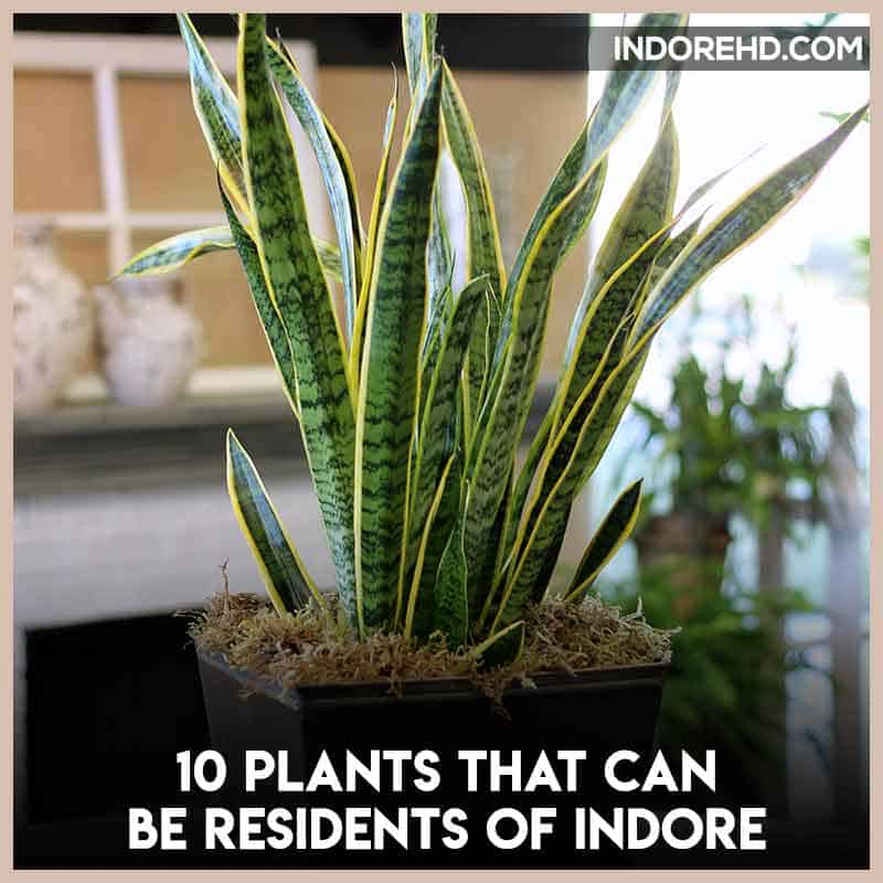snake-plant-plants-grow-indoor-indore-climate-indorehd-indore